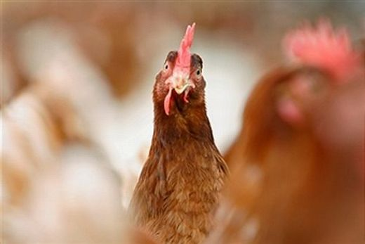 Advocacy ongoing for organic animal welfare final rule
