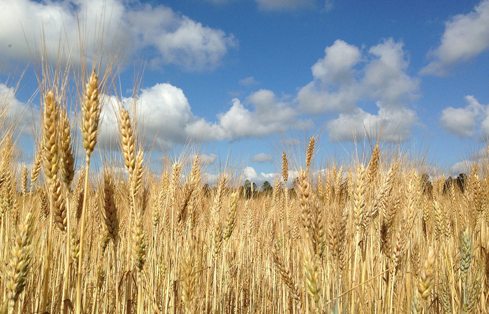 Budgeting tool developed to encourage organic grain production